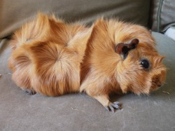 Guinea pig breeds abyssinian guinea pigs have deep tall rosettes all over the body rosettes are whirls of fur that grow evenly from a certain point on the animals coat sciox Gallery