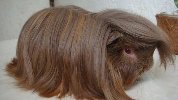 Different Breeds Of Guinea Pigs Moo Moo Pets Blog