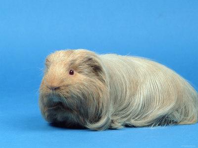 Sheltie guinea pigs - photo#39
