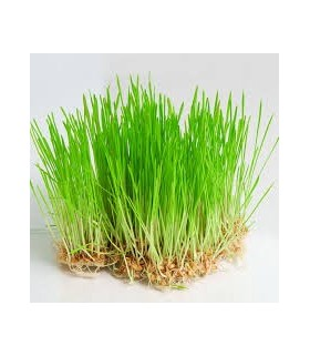 Freshly Grown Organic Wheat Grass For Your Pets