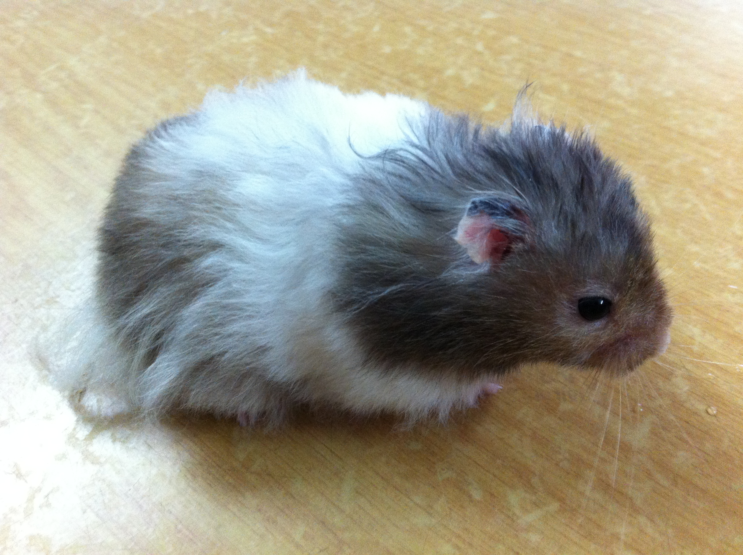 Long Haired Hamster Colors 24